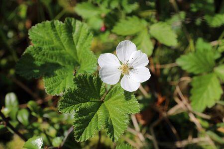 Rubus chamaemorus. The white flower of the cloudberry swamp in Siberia Banco de Imagens - 127280354