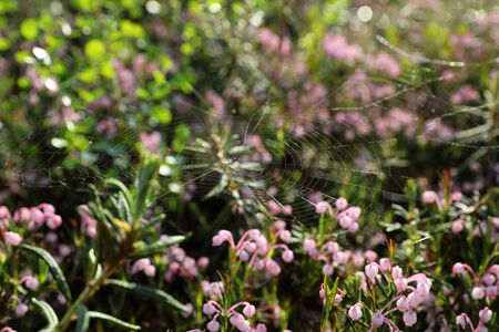 The spider spun a web on the flowers of Bog rosemary Banque d'images - 127280357