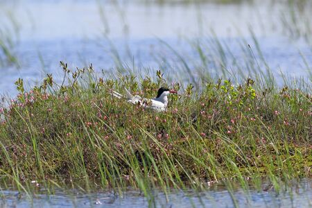 Sterna paradisaea. Polar tern sitting on a nest in the swamp in Northern Siberia