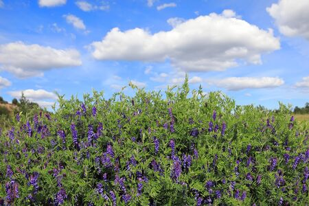 Vicia cracca. Wild vetch in summer in Northern Siberia Banque d'images - 127280445