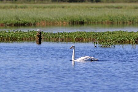 Cygnus olor. Mute Swan in summer in the North of Western Siberia Banque d'images - 127280442