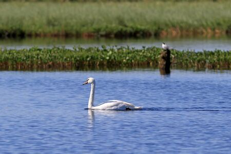 Cygnus olor. Mute Swan in summer in the North of Western Siberia Stock Photo