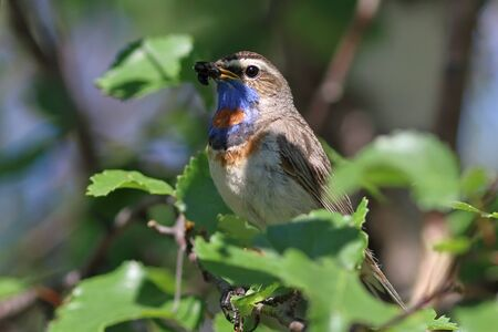 Luscinia svecica pallidogularis. Colorful male Bluethroat bird summer day on the branch of a birch