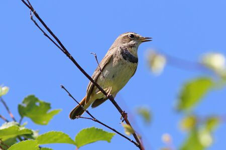 Luscinia svecica pallidogularis. The female Bluethroat sitting on a branch in Siberia Stock Photo