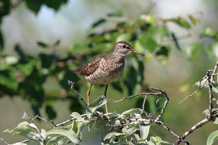 Tringa glareola. Wood Sandpiper in summer among the coastal thickets in Northern Siberia