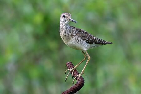 Tringa glareola. Wood Sandpiper summer is on the metal rod of rebar Banque d'images - 127280448