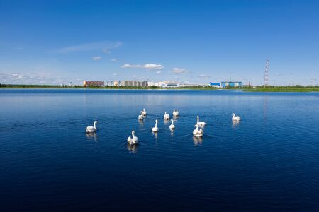 A flock of mute swans floating on the lake on the background of the city of Nadym in Siberia Stock Photo