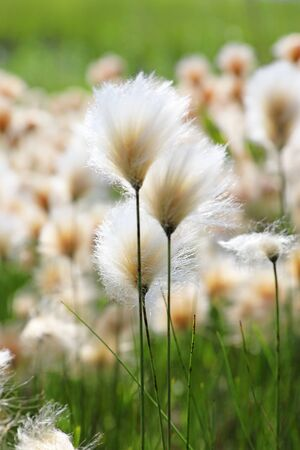 Eriophorum russeolum. Abundant blooms of cotton grass rusty on the Yamal Peninsula in Russia Banque d'images - 127280567