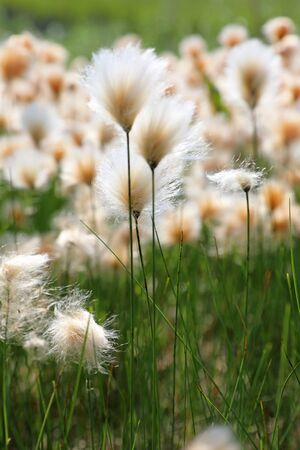 Eriophorum russeolum. Abundant blooms of cotton grass rusty on the Yamal Peninsula in Russia
