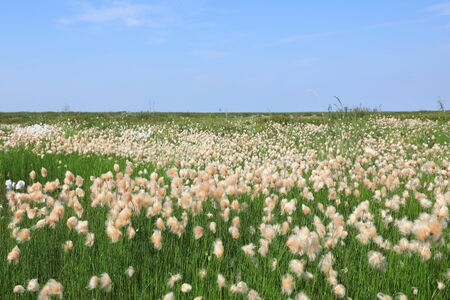 Eriophorum russeolum. Abundant blooms of cotton grass rusty on the Yamal Peninsula in Russia Banque d'images - 127280568