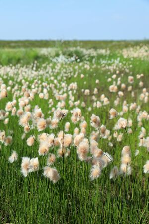 Eriophorum russeolum. Abundant blooms of cotton grass rusty on the Yamal Peninsula in Russia Banque d'images - 127280569