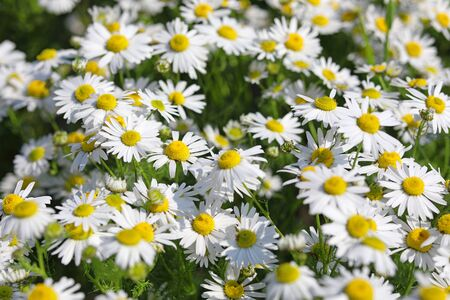 Tripleurospermum inodorum. Corn mayweed in summer in Northern Siberia Stock Photo