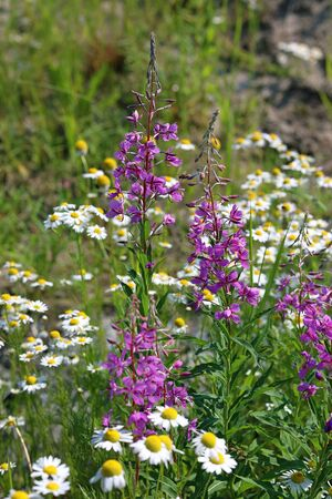 Abundant flowering fireweed and daisies in the summer in Northern Siberia Banque d'images - 127280570