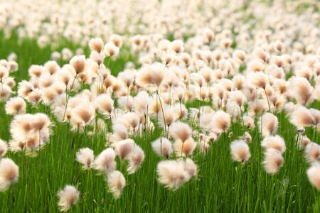 Eriophorum russeolum. Cottongrass in Northern West Siberia summer blooms in the swamp Stock Photo