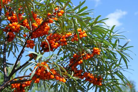 Hippophae rhamnoides. Branch of sea buckthorn with berries in Altai
