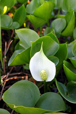 Calla palustris. Water arum in summer in Siberia