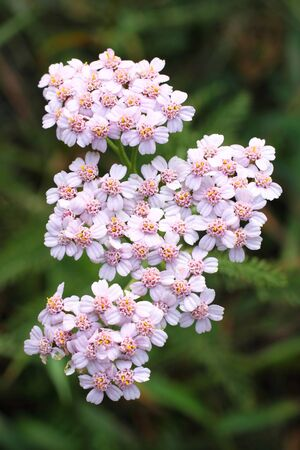 Achillea millefolium. Flowering yarrow in the Kulunda steppe of Siberia