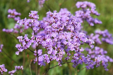 Limonium gmelinii. The limonium gmelinii summer in the Kulunda steppe of Siberia Stock Photo