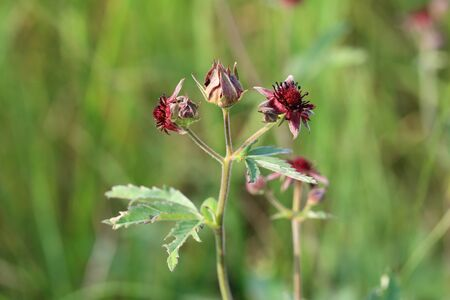 Comarum palustre. Inflorescence of marsh cinquefoil close-up Stock Photo