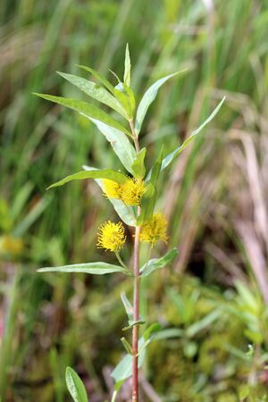 Naumburgia thyrsiflora. Tufted loosestrife in summer in Northern Siberia