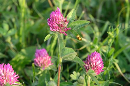 Trifolium pratense. Yellow ladybugs copulate on the flowers of Clover