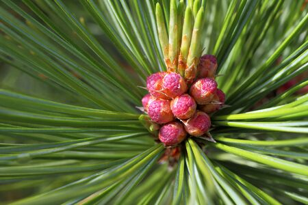 Pinus sibirica. Male pine cone Siberian close-up Stock Photo