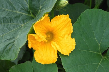 Cucurbita pepo. Pumpkin flower closeup Stock Photo