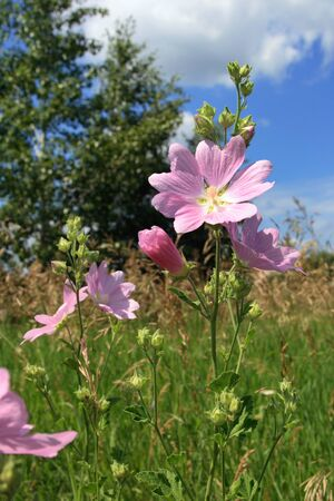 Lavatera thuringiaca. The lavatera Thuringian summer in the South of Siberia