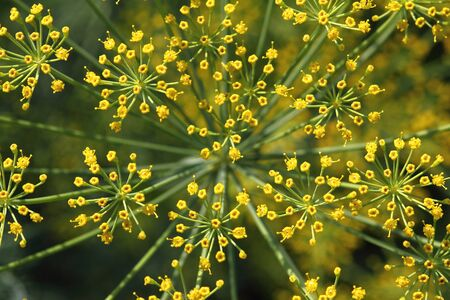 Flowering dill summer day in the garden Banque d'images - 127280607