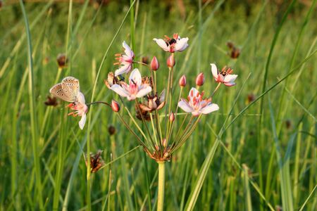 Butomus umbellatus. Flowering rush summer day in Siberia Stock Photo