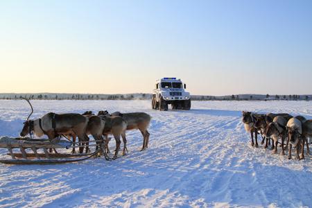 NADYM, RUSSIA - FEBRUARY 26, 2012: Modern police all-terrain vehicle Trekol and reindeer in Yamal tundra Editöryel