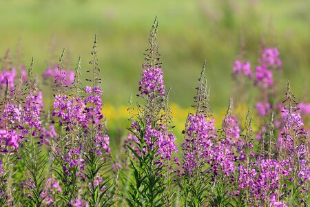 Chamerion angustifolium. Fireweed blooms in summer on a meadow in Siberia