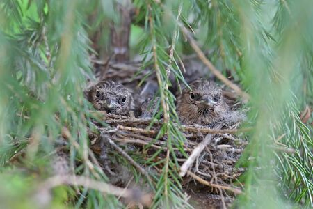 Carduelis flammea. Common Redpoll Chicks in the nest among the spruce branches in the North of Siberia