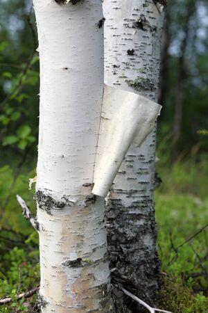 Un morceau d'écorce de bouleau déchiré sur le tronc d'un bouleau en Sibérie