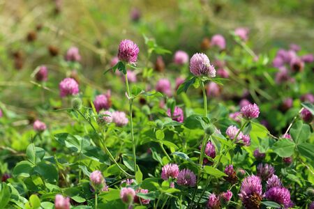 Trifolium pratense. Red meadow clover in summer in Siberia