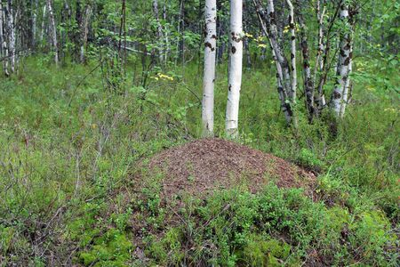 Anthill on a summer day in the Siberian forest