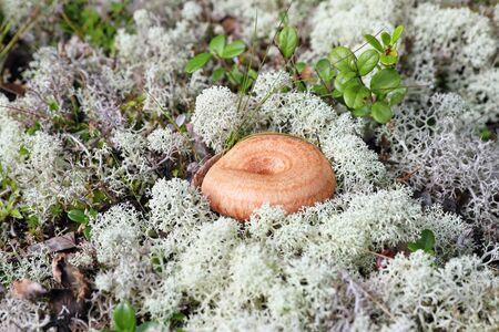 Lactarius torminosus. Fungus among moss in Siberia