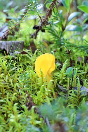 Spathularia flavida. Mushroom Specularia yellowish in the Siberian forest 免版税图像