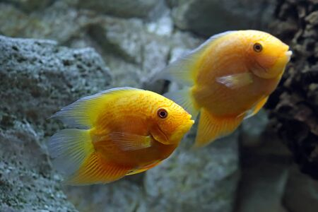 Heros efasciatus. Severum Cichlid swims in the aquarium