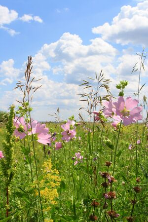 Lavatera thuringiaca. Flowering plants in the kulundin steppe of the Altai territory of Russia
