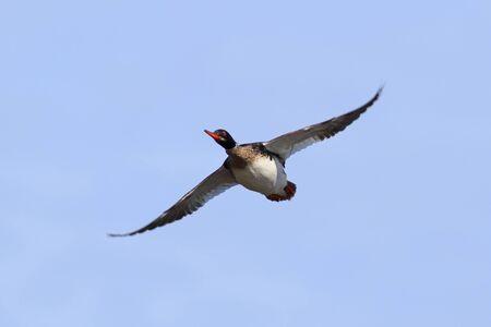 Mergus serrator. Red-breasted merganser in flight