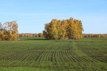 Field with winter wheat on a Sunny autumn day in Siberia