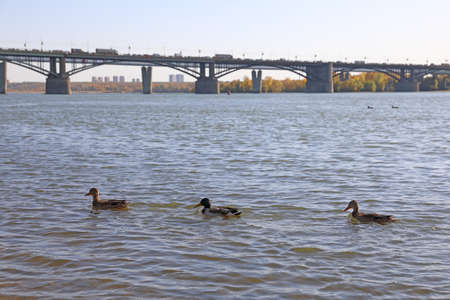 Drake and Mallard ducks swim on the Ob river against the background of the Oktyabrsky bridge in the Russian city of Novosibirsk Stock Photo