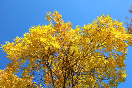 Crown of a tree with yellow leaves on a Sunny day in autumn