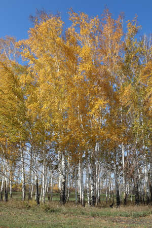 Young birch trees in autumn on a Sunny day in Siberia