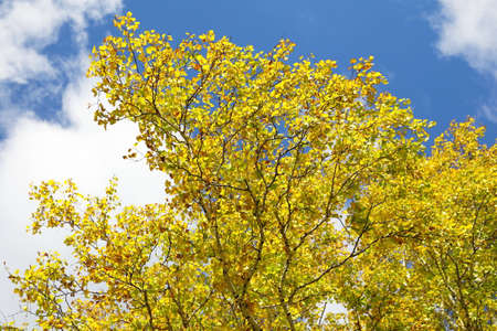 Yellow birch foliage on a Sunny day in Siberia Stock Photo