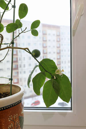 Lemon in a pot with flowers and fruit on a branch on the background of a winter view in the city outside the window Stock Photo