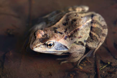 Rana arvalis. Sharp-faced frog basks in the sun in thawed spring water in Siberia