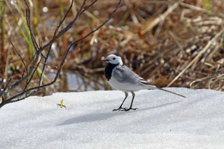 Motacilla alba. White wagtail stands in the snow in the north of Western Siberia Reklamní fotografie