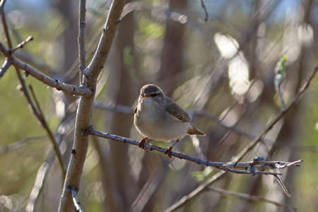 Phylloscopus trochilus. Willow Warbler in spring in the north of Western Siberia Reklamní fotografie